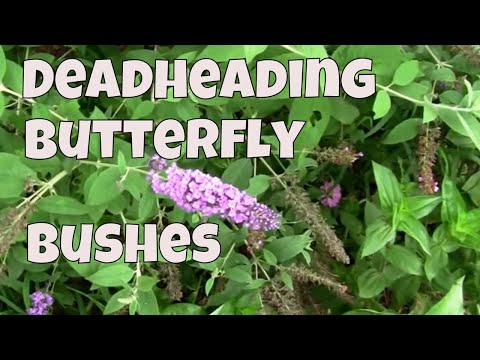 Deadheading Butterfly Bushes. A look at how to do it.