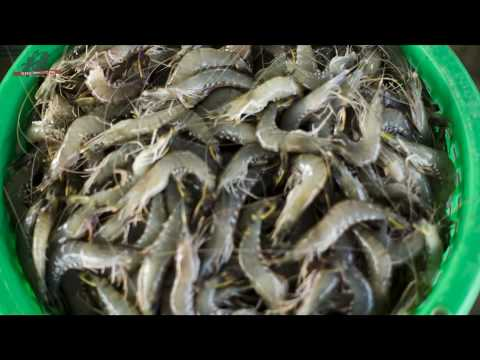 Fate of farmed shrimps