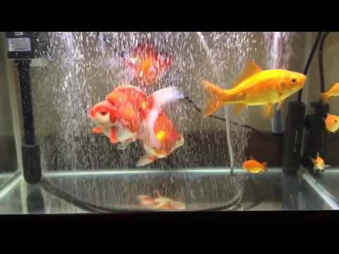 我が家の琉金と金魚すくいで掬った金魚達