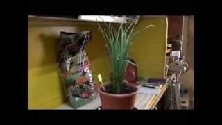 Cómo sembrar ajos en una maceta
