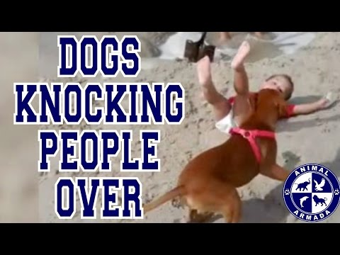 Dogs Knocking People Over Compilation - Dogs Knocking Over Kids And Adults