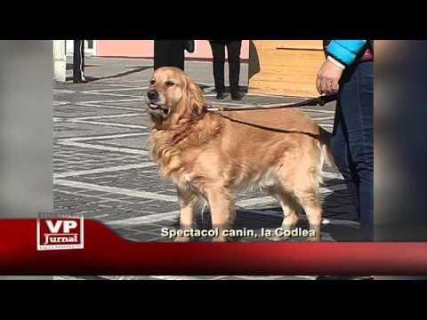 Spectacol canin, la Codlea