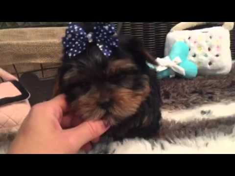 ADORABLE MALE YORKIE LOOKING FOR A LOVING HOME