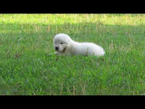 Great Pyrenees Male Puppy