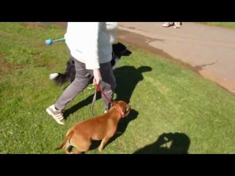 stopping your dog from pulling - How To Stop Your Dog From Pulling using a lead and collar with a simple innovative use of the lead, by Lynn Washbrook, The simple free method used will astou...