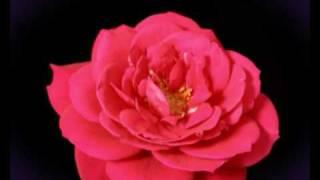 Time Lapse Flowers- 3rdlens Film Production Milton Keynes