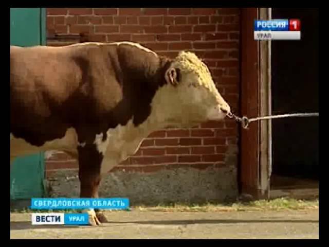 Вице премьер КНР посетил уральский центр по селекции быков »