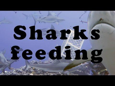 Sharks feeding at Osprey Reef Australia_Legjobb videók: Merülő helyek