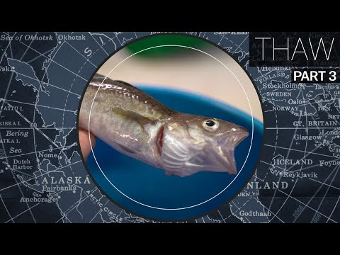 Why Atlantic fish are invading the Arctic