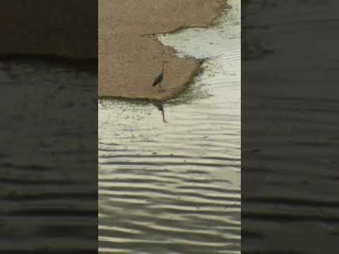 Tortoreto Airone a passeggio sulla foce del Salinello