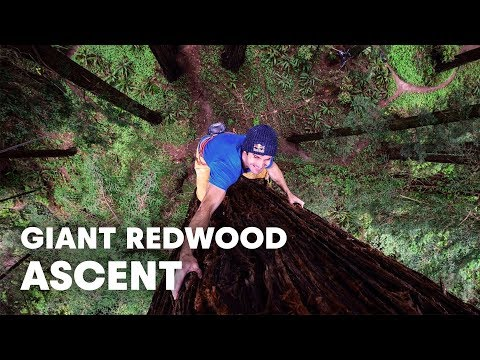 Climber Scales a Giant Redwood Tree in California