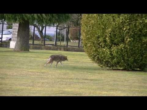Video Coyote stalks and starts going in for attack on elderly lady and dog download in MP3, 3GP, MP4, WEBM, AVI, FLV January 2017