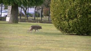 Video Coyote stalks and starts going in for attack on elderly lady and dog MP3, 3GP, MP4, WEBM, AVI, FLV Oktober 2017