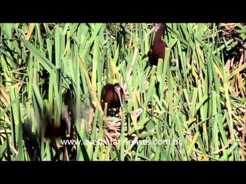 Caraúna-de-cara-branca  - Cristiano Voitina