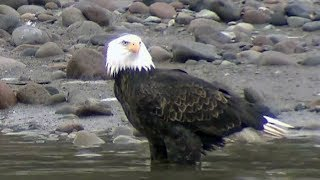 Watch Greater spotted eagle videos online