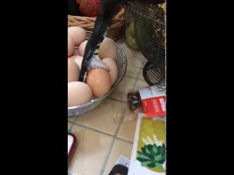 才剛到家,竟發現廚房有黑色不明物體正在啃食他們的雞蛋...