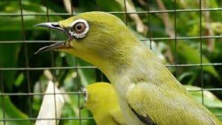 Download Video Mengintip Aksi Kicauan Burung Pleci /Kaca Mata Putih Ngerol Di Alam Liar MP3 3GP MP4