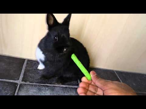 Netherland dwarf bunny black