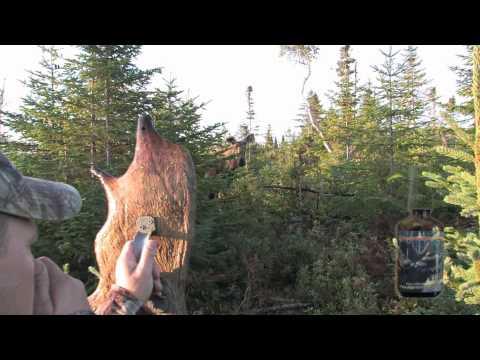 Une femelle orignal se laisse toucher le nez par un chasseur