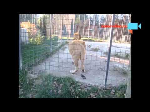 Dlaší ukázka lví rodinky v zooparku Dvorec u Borovan 1.11.2015