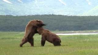 Video Battle Of The Giant Alaskan Grizzlies, grizzly vs grizzly, alaska MP3, 3GP, MP4, WEBM, AVI, FLV Oktober 2017
