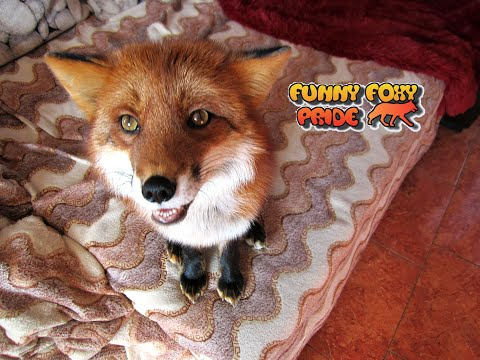 Fox Does Dog Tricks & Talking