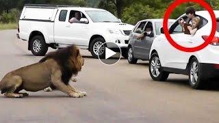 Tiger and Lion Attack White Car in Safari full download video download mp3 download music download