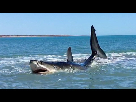 Pearson Brothers Winery films 15ft Great White Shark and they also make a Great White Wine