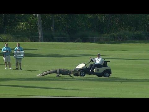 一隻鱷魚出現在高球場,但事後大家卻發現一件驚人的事情...