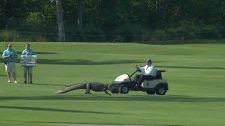 Three-legged Alligator crosses fairway