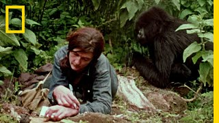 Dian Fossey Narrates Her Life With Gorillas in This Vintage Footage | National Geographic