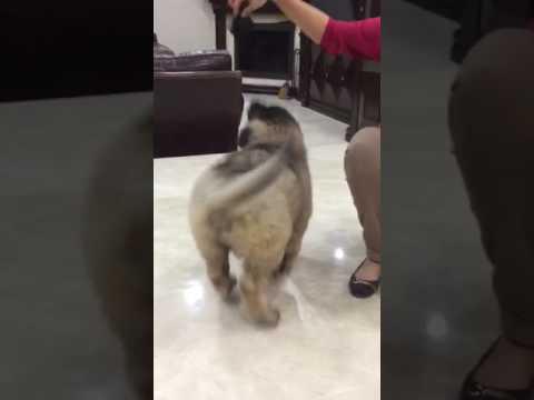 vadim, caucasian ovcharka puppy