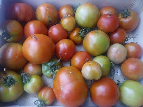 Cultivo de Tomates en el Huerto www.youtube.com/tuhuertofacil