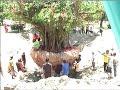 Dok Humas Untad Pemindahan Pohon Angker Di Universitas Tadulako