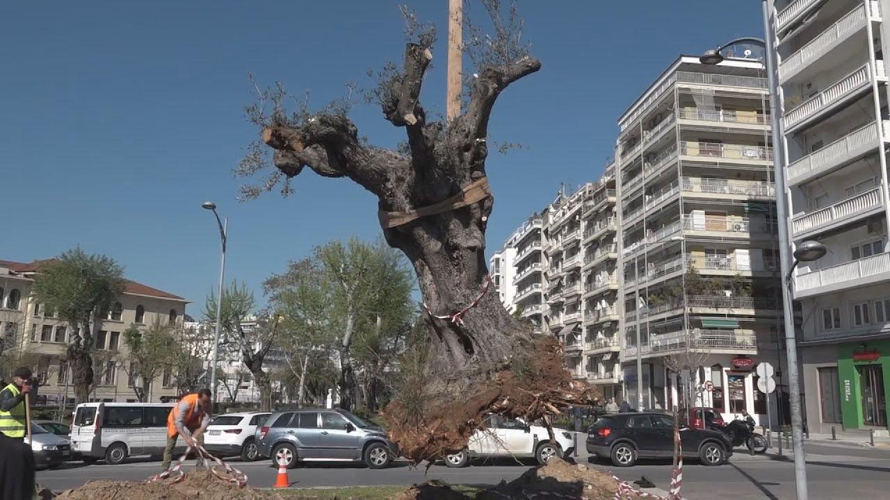 Θεσσαλονίκη: Αιωνόβιες ελιές από τη Χαλκιδική φυτεύονται σε κεντρικό δρόμο της πόλης
