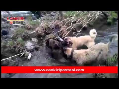 Çoban köpekleri ile yaban domuzunun ölümcül kapışması