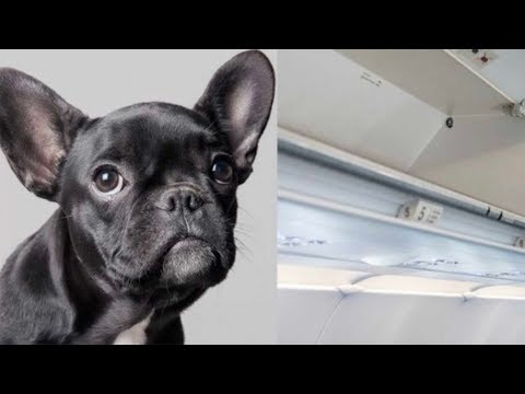 Puppy dies when United Airlines forces passenger to put dog in overhead bin