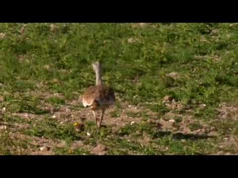 BBC Springwatch 2009 featuring the UK Great Bustard Reintroduction