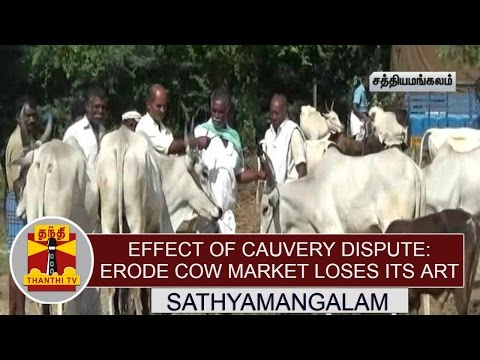 Effect-of-Cauvery-Dispute-Erode-Cow-Market-loses-its-art-Thanthi-TV