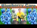 Download Lagu All About BLUEBERRY CARE & PLANTING - in detail |  Better in POTS than In-Ground???!!! Mp3 Free