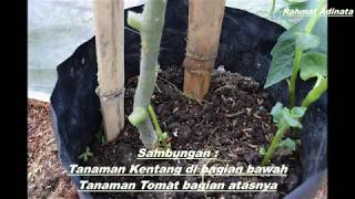 Grafting: Kentang & Tomat