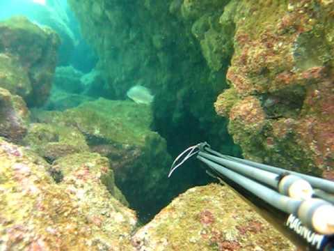 pesca con arpon - Pesca de 3 pargos, solo aparecen dos en video, el mas grande aparece casi al final del video, peso 9 kilos ya destripado.