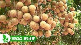 Trồng trọt | Kỹ thuật chăm sóc cho nhãn ra quả vàng và ngọt