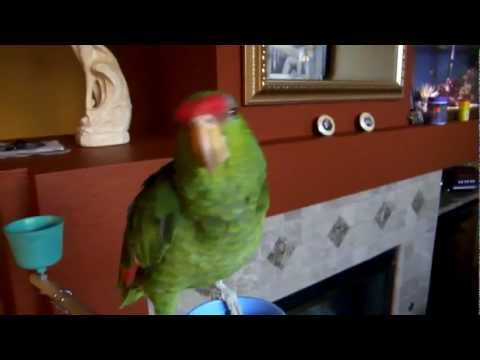 Our Pet Amazon Green Cheeked Parrot Talking and Whistling