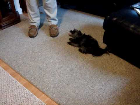 Dog Tasered Bloopers