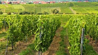 La Route des Vins d'Alsace - Private tasting of Famous Alsatian Wines - The Wine Route of Alsace - YouTube
