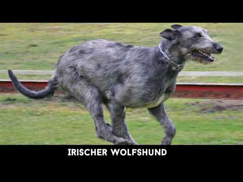 Die 8 größten Hunderassen der Welt - Video von Tägl ...