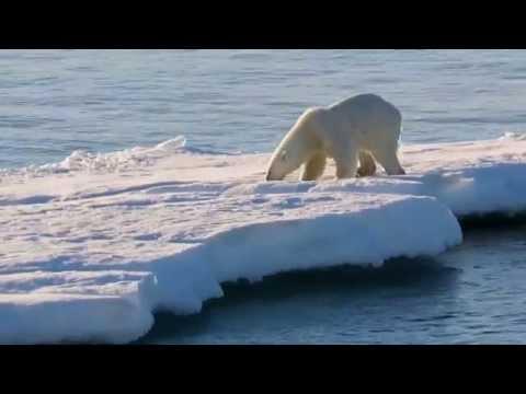 Polar Bears Northeast Greenland National Park