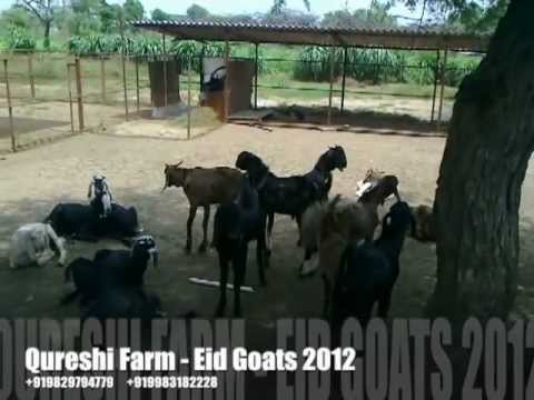 rajasthan goat farming - View LOT 1 of Qureshi Farm Eid Bucks to be sold in Deonar Mandi, Mumbai for Bakra Eid. These active goats are hand fed with fresh grass, leaves and grains, m...