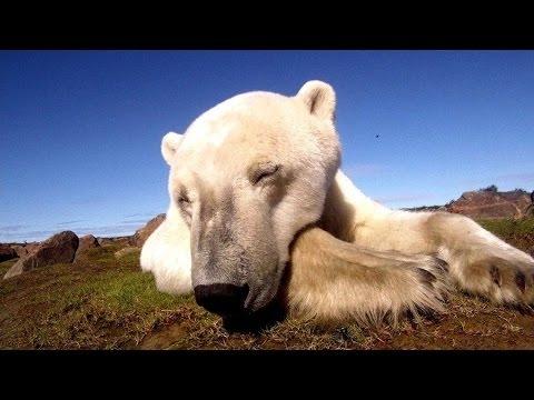 Polar Bears A Summer Odyssey (2012) with David Suzuki Movie